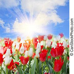 領域, 開花, 鬱金香