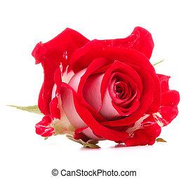 頭, 花, バラ, 隔離された, 背景, 白, 切抜き, 赤