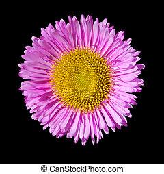 頭, 花, 紫色, デイジー, 隔離された, 黒, 英語