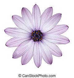 頭, 花, 紫色, ライト, 隔離された, -osteospermum, デイジー, 白