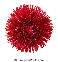 頭, 花, 隔離された, デイジー, 白い赤
