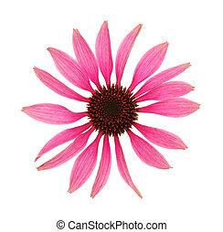 頭, 花, 隔離された, echinacea のpurpurea, 背景, 白