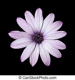 頭, 花, osteospermum, 紫色, ライト, -, デイジー