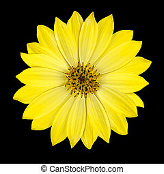 頭, 花, osteospermum, 隔離された, 黄色, デイジー