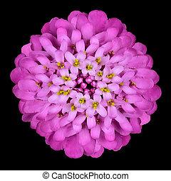 頭, 黒, 隔離された, iberis, 花, ピンク