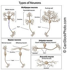 類型, ......的, neurons