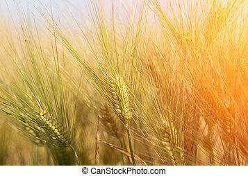 领域, 日落, 大麦