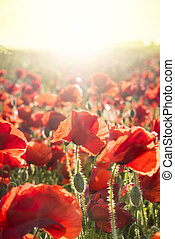 领域, dorset, 日落, 罂粟
