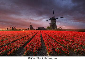 風車, フィールド, オランダ, チューリップ
