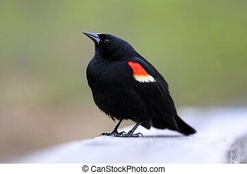 飛ぶ, 鳥, 赤