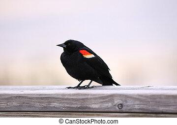 飛ぶ, 黒い鳥, 赤