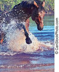 飛濺, 海灣, 美麗, horse.