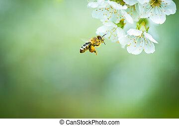 飛行, さくらんぼ, 開くこと, 木, 蜂, 蜂蜜, 接近