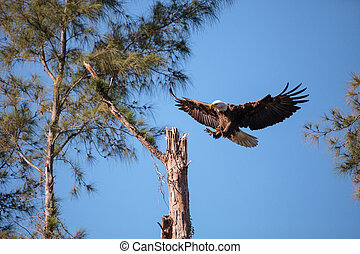 飛行, 成人, 白頭鷲, haliaeetus leucocephalus