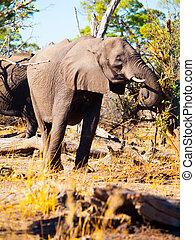 食べること, アフリカの象
