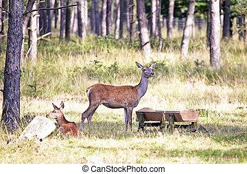 食べること, 森林, deers