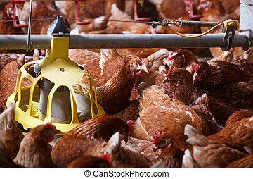 食べること, 農場, フィーダー, 納屋, 鶏, 自動