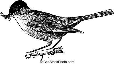 食虫性, 型, 鳥, engraving.