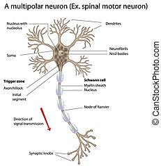 馬達, 神經元
