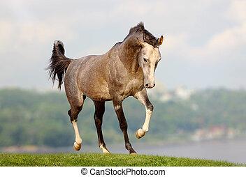 馬, アラビア人