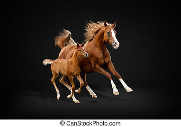 馬, アラビア人, 黒