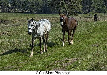 馬, 山, 牧草地, 遊ぶこと, 春, 風景