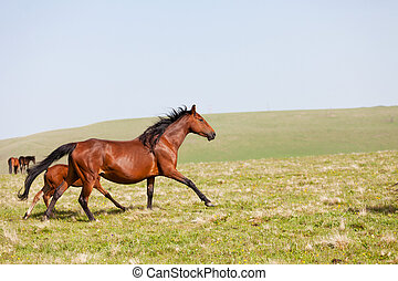 馬, 山, 跑, 高加索,  russia, 牧場