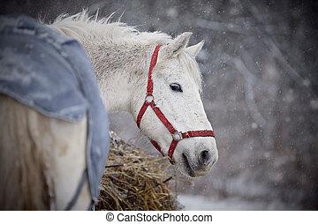 馬, 歩く, snowfall., 白, ぬれた
