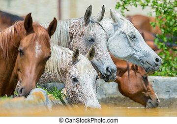 馬, 水, 飲むこと, アラビア人