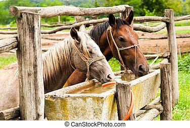 馬, 飲むこと