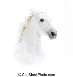 馬, 高く, andalusian, キー, 肖像画, 白