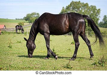 馬, 黒, 牧草地