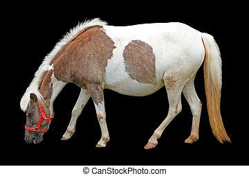 馬, 黒, 隔離された, 背景
