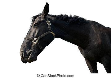 馬, 黒, 隔離された, white.