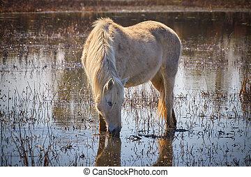 馬, (aiguamolls, 国民, de, 公園, l, emporda), 湿地, 白, スペイン
