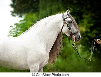馬, andalusian, 添え金, スペイン語, 白, 正しい