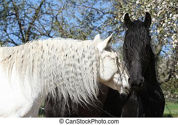 馬, friesian, 黒, andalusian, 白