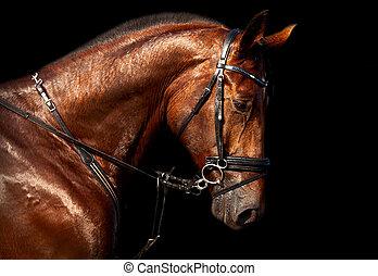 馬, holsteins, 湾, 黒い背景, 肖像画