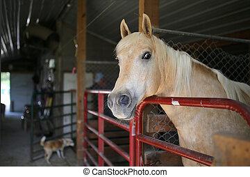 馬, palamino, 見る, カメラ, 停止, 納屋