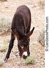 驢, 駒, 吃草, 在, 內華達, 沙漠