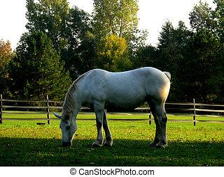 马, 2, 白色