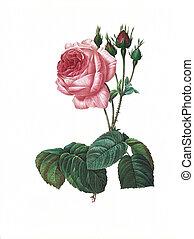 骨董品, 花, rosa, イラスト, centifolia, bullata