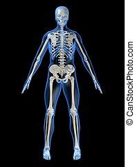 骨骼, 人類