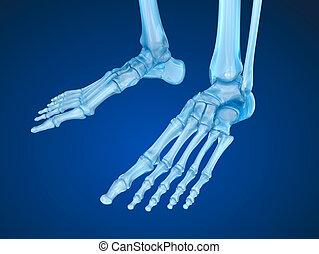 骨骼, 腳, medically, 准确, 3d, 插圖