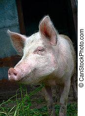 骯髒, 豬