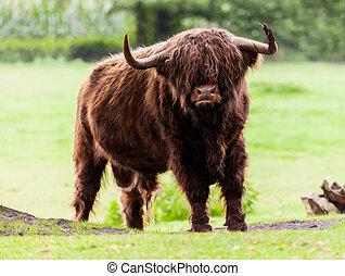 高地の 牛, 雄牛