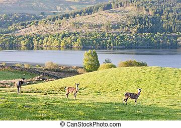 高地, スコットランド, tay, 鹿, 湖