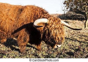 高地, 母牛