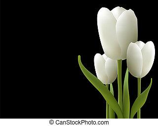 鬱金香, 白色