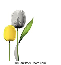 鬱金香, 白色, 背景, 被隔离, 黃色